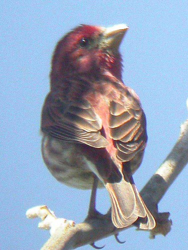 Purple Finch, Andrew Molera State Park, 29th April | by Dave Appleton