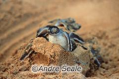 Tartaruga-verde nascendo