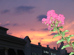 Sunset Crepe Myrtle