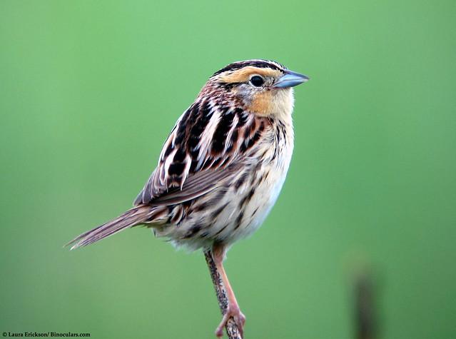 LeConte's Sparrow profile