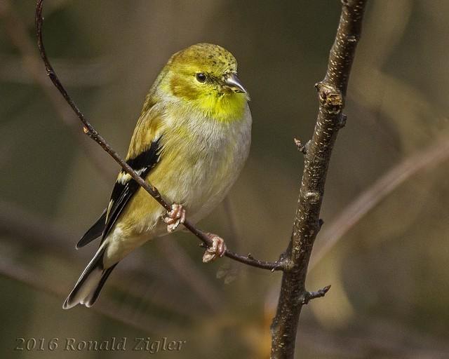 Goldfinch IMG_5942