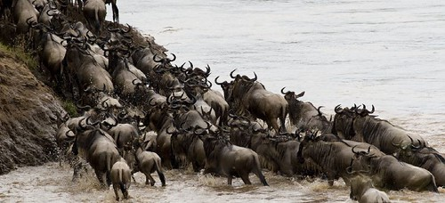 Wildebeest migration crossing the Mara river | by BrianScottImages