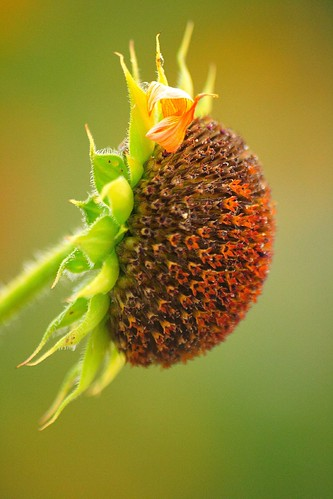 sunset wild newmexico sunflower puestadesol nm silvestre girasol losalamos naturesfinest popsgallery