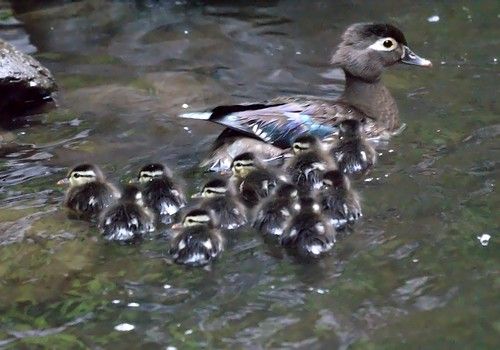 Baby Wood Ducks | by Mike's Birds