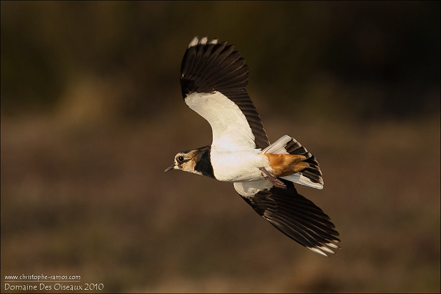Vanneau Huppé ♂ Vanellus vanellus (Domaine des oiseaux, Ariège- 09)_Oct2010 #1