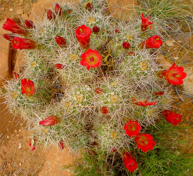 Cactus Pimples