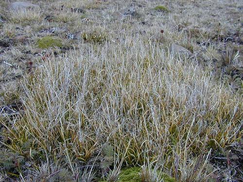 voyage geotagged kerguelen cyperaceae zonehumide stationalpinejosephfourier geo:lat=49329597 geo:lon=7018753