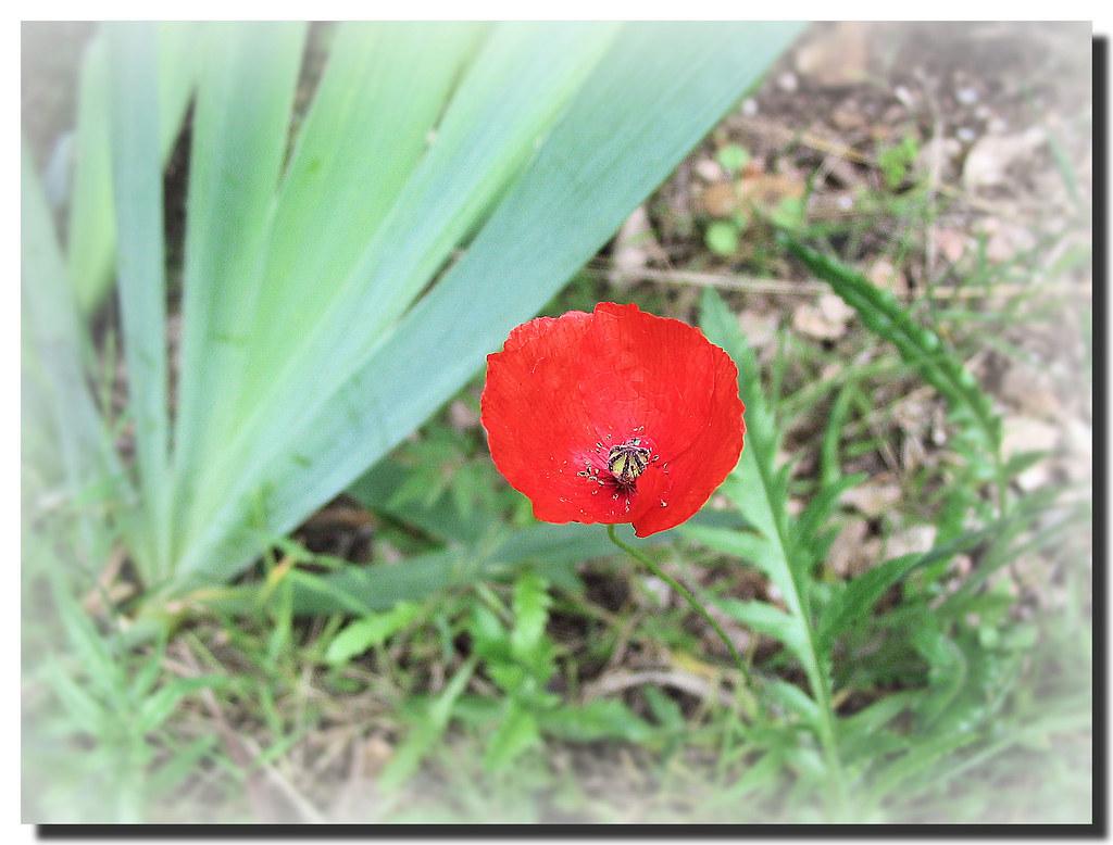 Poppy Amapola Montserrat Barcelona Spain English The Flickr