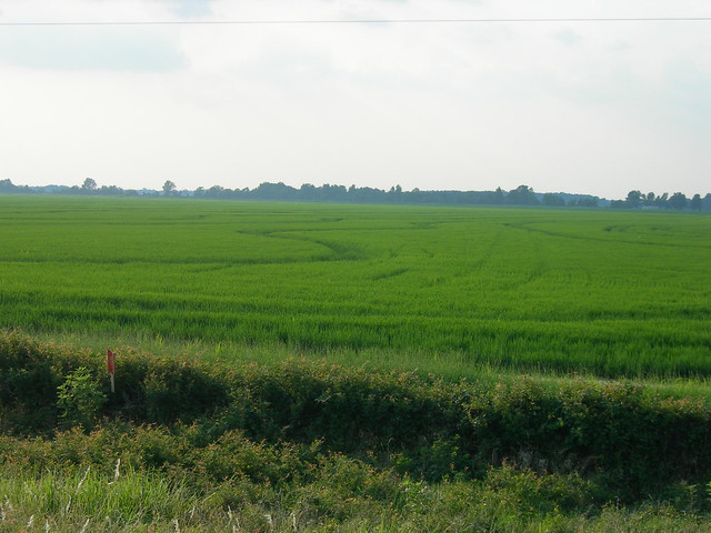 Arkansas Rice Field