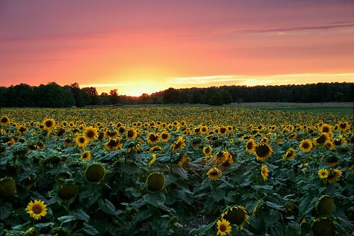 sunset michigan sunflowers grayling