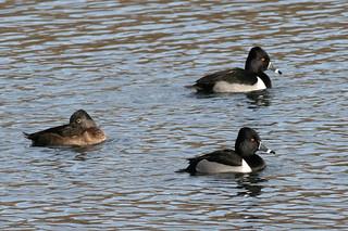 Ring-necked Ducks (two adult males, adult female) | by Keith Carlson