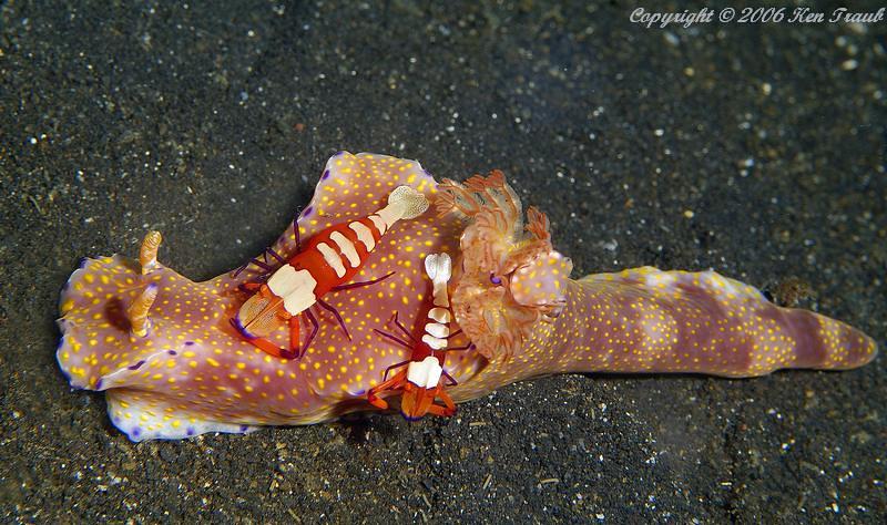 9772-1 Ceratosoma trilobatum and Imperial shrimp