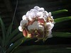 The Amazing Euanthe (Vanda) Sanderiana (Waling-waling)