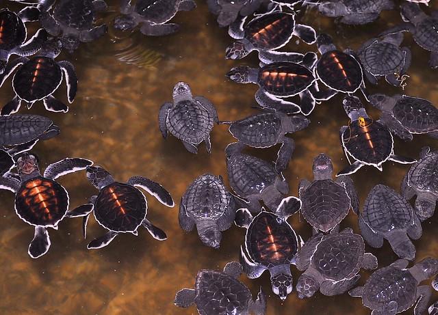 Kosgoda Turtle Hatchery, near Bentota, Sri Lanka.