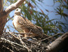 Red Goshawk by Collaertsbrothers