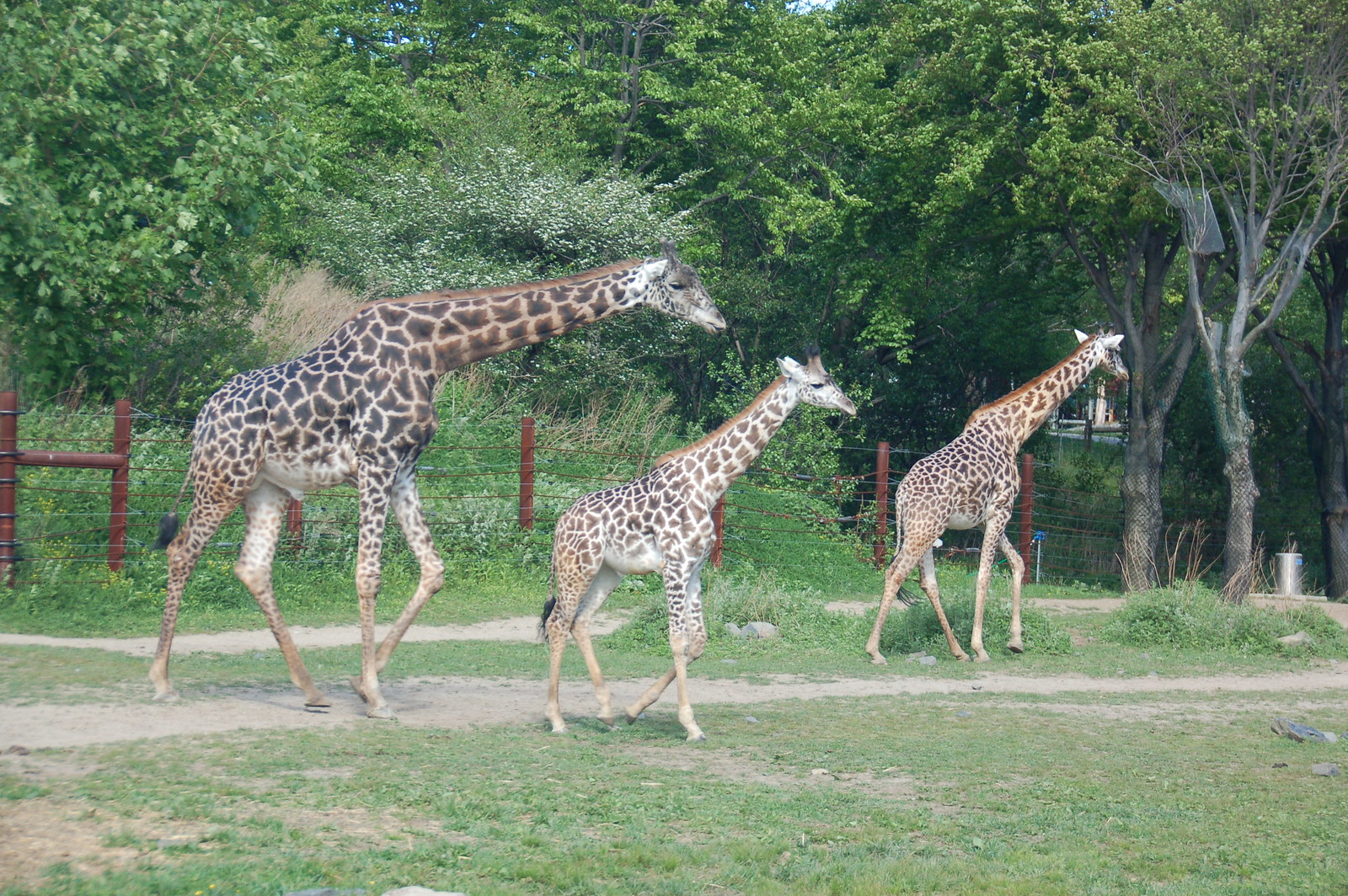 Franklin Park Zoo, 15 May 2010: Mother, father, and baby giraffe family