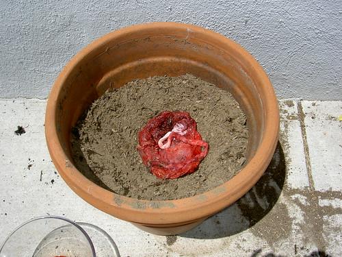 Placenta planting day