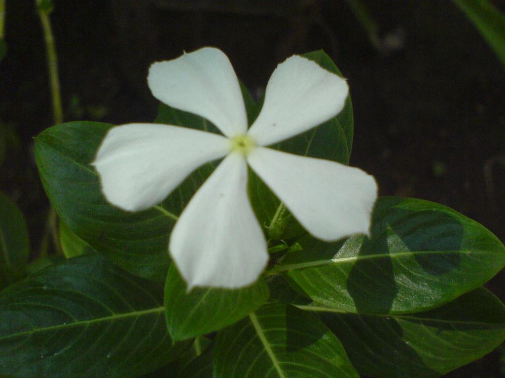 Sadapushpa (Konkani: सदापुष्प) | Common name ...