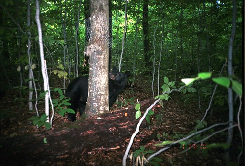 newyork bears ursusamericanus americanblackbear taxonomy:common=americanblackbear siwild:study=adirondackcarnivoresurvey siwild:studyId=adksets geo:locality=northamerica taxonomy:species=ursusamericanus taxonomy:group=bears sequence:index=1 sequence:length=1 file:name=unf726~1jpg siwild:date=200109011710000 siwild:trigger=adkimg805 siwild:imageid=adkimg805 sequence:id=adkimg805 file:path=dpixsmi2unf726~1jpg siwild:plot=smith siwild:location=smic2 siwild:camDeploy=adkdeploy115 siwild:species=155 sequence:key=1 siwild:region=adk BR:batch=sla0620101118064407 geo:lon=44812827 geo:lat=73812581