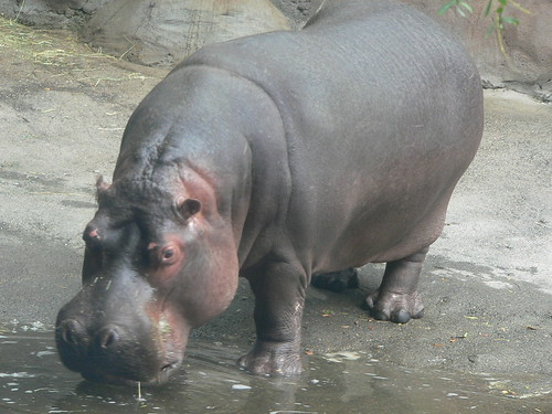 A hippopotamus at Portland zoo | by Francis Storr