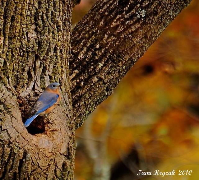 An Autumn Bluebird