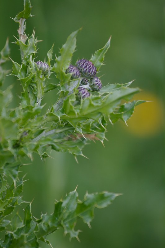 Some sort of Thistle