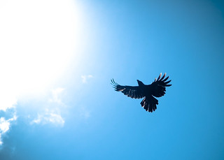 Crows - Towards the sun i fly, not as Icarus. | by Hash Milhan