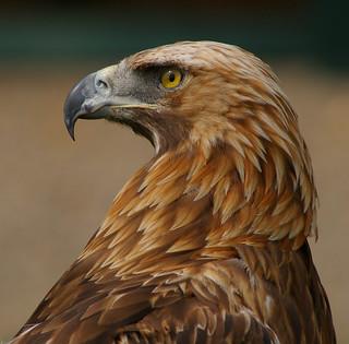Boris the Golden Eagle