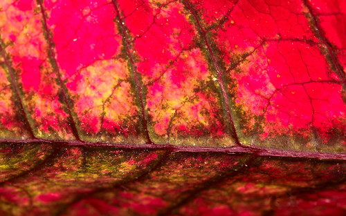 abstract macro landscape leaf december collingwood poinsettia 365 365photos dwcffcolorful