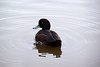 Introducing - The New Zealand Scaup by Falcdragon