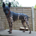 American Hairless Terriers- Trinity