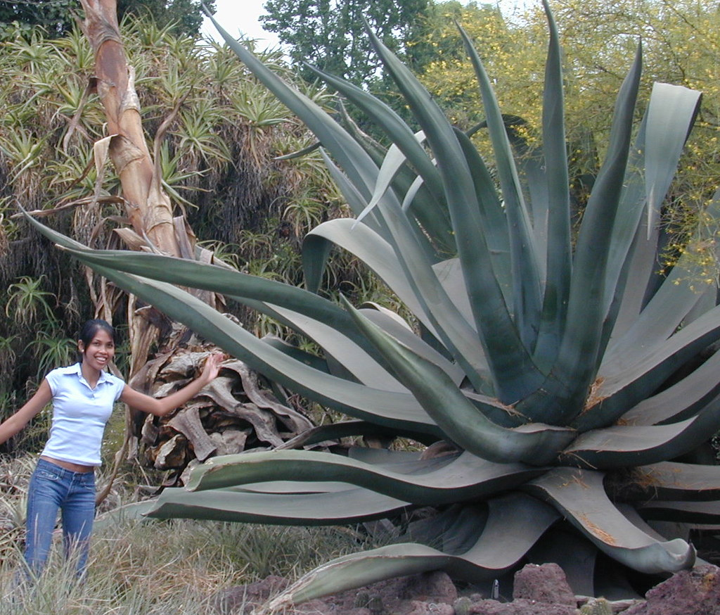 Agave, extra large.