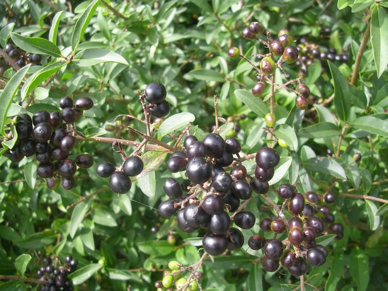 Wild Privet Southbourne to Chichester