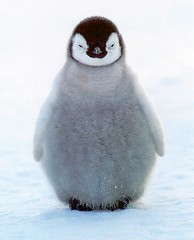 Baby Penguin | by Me-Liss-A