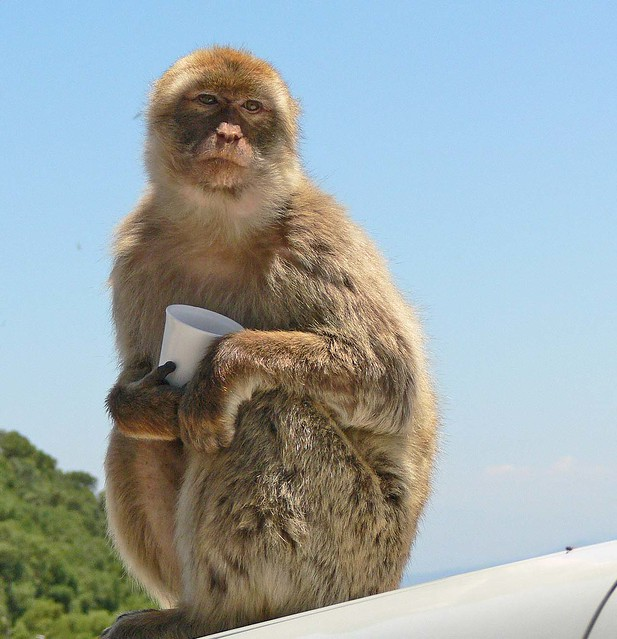 Macaque and his cup of Nuts