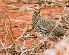 Yellow-necked spurfowl by J☺han