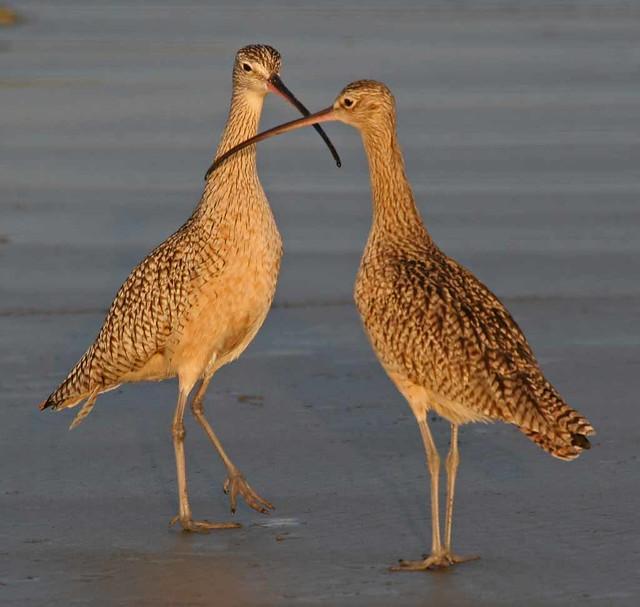 long-billed-curlew-pair2001