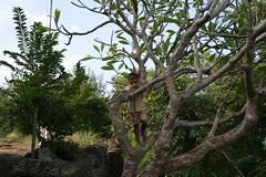 Kid in the Frangipani tree