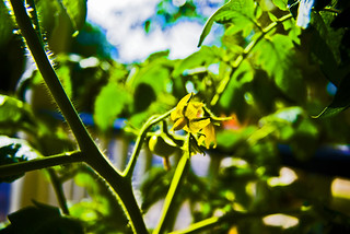 Our growing tomato plant | by khawkins04