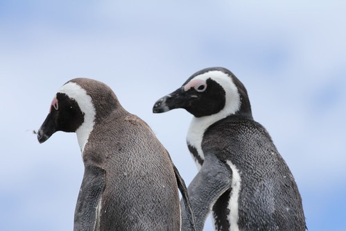 African Penguins | by Jon Mountjoy