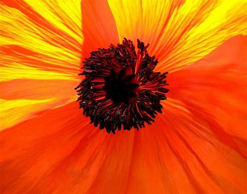 Hot Orange Poppy...2 ways tonight...2 photos | by bevcraigwhite