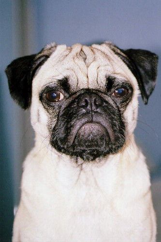 Pug | by cellar_door_films