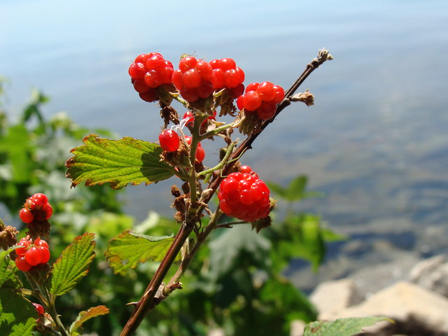 Red blackberries, with Lake Hartwell in background, SOOC