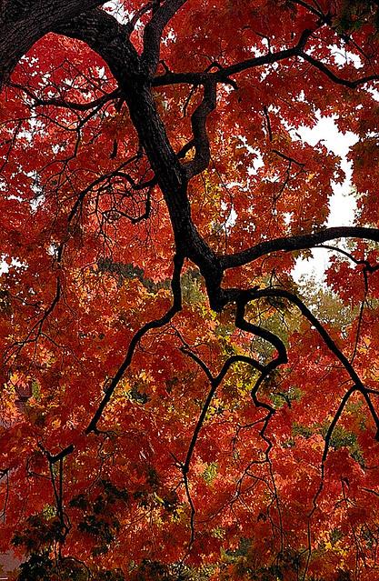 "Cincinnati - Spring Grove Cemetery & Arboretum ""A River of Branches in Autumn"""