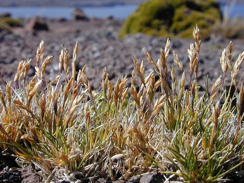 voyage geotagged vegetation poaceae kerguelen stationalpinejosephfourier geo:lat=49329597 geo:lon=7018753 bassealtitude