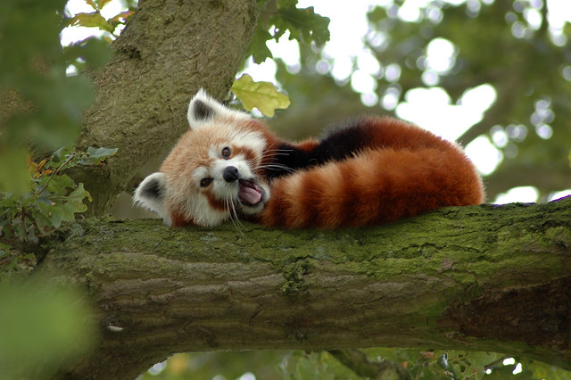 Red Panda in a Tree Y A W N I N G!
