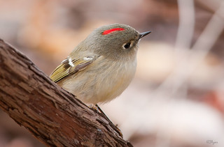 Ruby-crowned Kinglet | by Kelly Colgan Azar