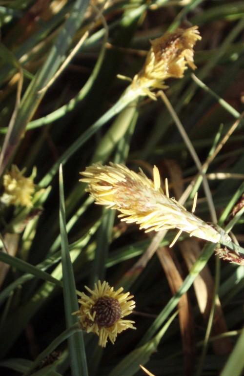 Carex panicea 5180662947_255d798c4d_o