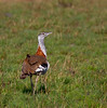 Denham´s Bustard. Listed as Vulnerable. by Nydiaso.