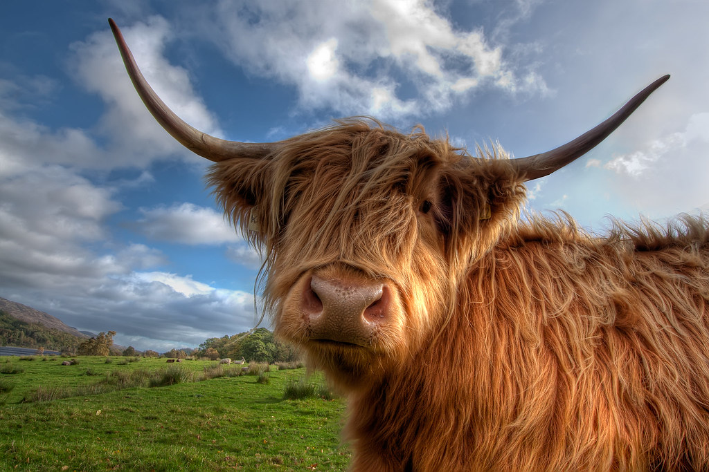 Curious Highland Cow | A curious highland cow near Loch ...